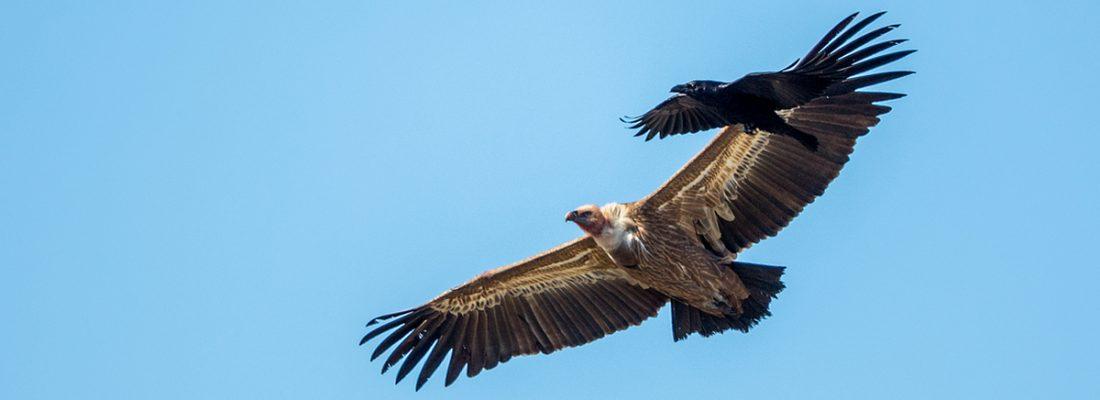 grifone e corvo